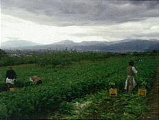 野沢菜の収穫b